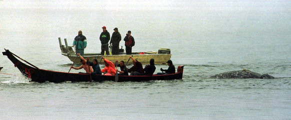 "Using the eight-man wooden paddling canoe ""Hummingbird,"" Makah tribesmen tow the Gray whale they kil.."