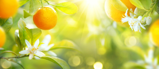 Keuken foto achterwand Vruchten Ripe oranges or tangerines hanging on a tree. Healthy organic juicy fruits growing in sunny orchard