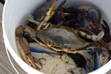 Crabs in a White Bucket