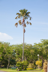 sugar palm stand alone in public park have blue sky background.