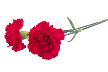 Two red carnations for mourning isolated on white background