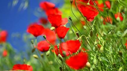 Fotoväggar - Poppy flowers nature spring background. Blooming poppies. 4K UHD video 3840X2160