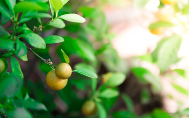 Ripe and ripening orange and yellow tangerines on citrus tree with leaves, with blurred foliafe background