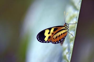 Brazilian butterfly on the green leaf