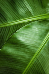 Detail of two banana leaves