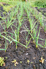Spring garden plants - garlic, onion. bow grows on beds