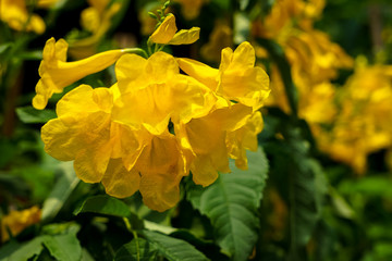 Yellow bells flower or Tecoma stans blooming under sunlight with blur background