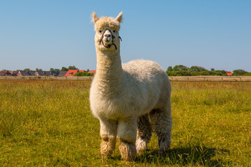 Photo sur Plexiglas Lama Alpaca