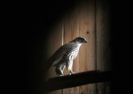 A rare gyrfalcon sits in an enclosure in quarantine in the Russian Falcon centre in Moscow