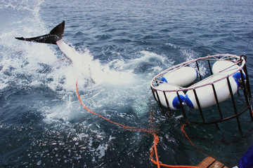 A 3.5 metre Great White Shark plunges beneath a diving cage off Gansbaai about 200 kilometres east o..