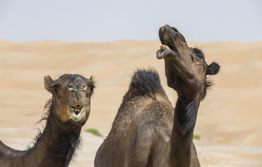 pair of black camels in Liwa desert
