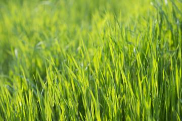 Lush green grass in spring