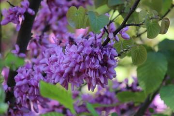 Foto op Aluminium Lilac Lila Blume