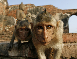 Monkeys look at the camera in front of the Pra Prang Sam Yot temple in Lopburi province