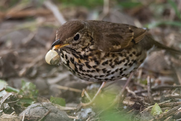 Song thrush (Turdus philomelus) with broken snail in beak. Songbird in the family Turdidae, in process of smashing snail on rock before eating
