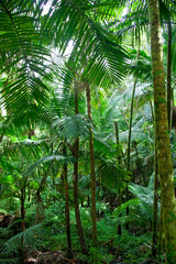 Forest of Caribbean National Forest of El Yunque, Puerto Rico
