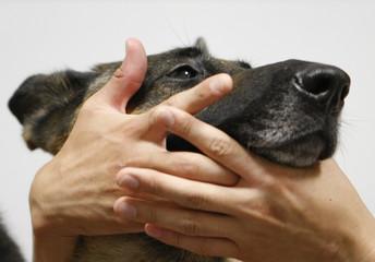 "Seven-year-old male German shepherd ""Kinjiro"" gives blood in Kawasaki"