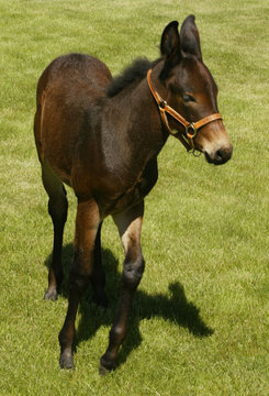FIRST CLONED MULE IDAHO GEM REVEALED AT UNIVERSITY OF IDAHO IN MOSCOW.