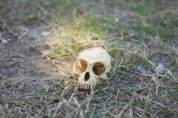 skull head abandoned in deep forest putting on grass long time, this image for nature and skull concept