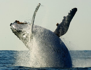 HUMPBACK WHALE BREACHES OFF THE COAST OF SOUTH AFRICA'S KWAZULU NATAL PROVINCE.