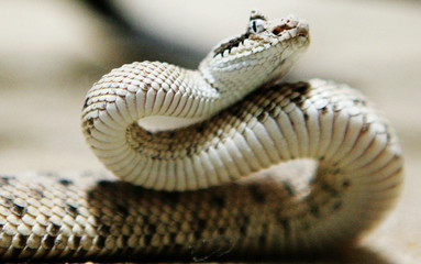 A young Sidewinder, born July 15, 2005, raises its head in its terrarium at the zoo of Zurich, Switz..