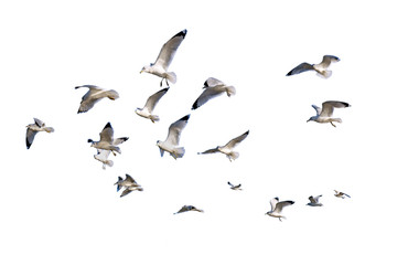 Ring-billed sea gulls isolated against white