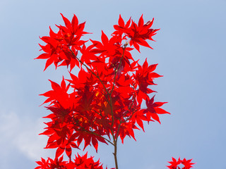 Red maple leaves in spring time