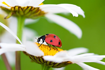 ladybug sits on a chamomile flower