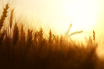 photo of wheat field at sunset