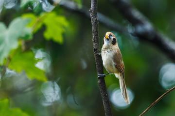 Spot-Breasted Parrotbill ,Birds of Thailand ( Doi Sun Juh) Chiang Mai.