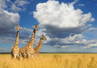 Fotobehang Giraffe Giraffe in National park of Kenya