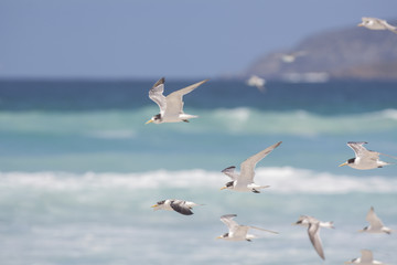 Cruising the Beach/Sea breeze under their wings to give them lift as they cruise the shore, along the water line.
