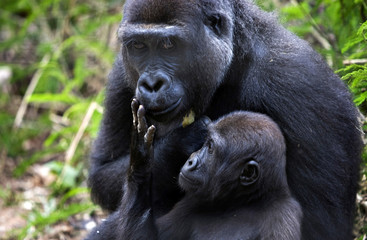 A baby western lowland gorilla touches on his mother's face at the primate sanctuary in Mefou National Park