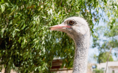 The Ostrich or Common Ostrich (Struthio camelus)