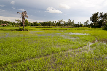 Rice firlds in Asia just after rain storm