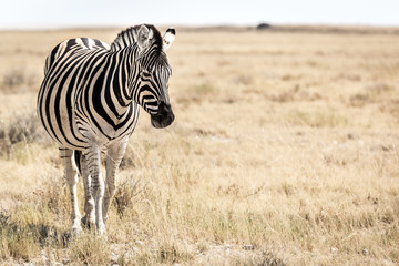 Zebra looking to the right with negative space