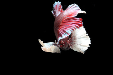 Red fighting fish.
