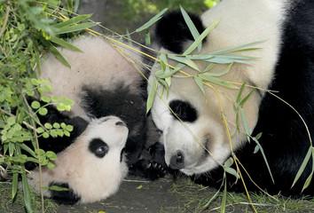 BABY GIANT PANDA MEI SHENG PLAYS WITH MOM BAI YUN.