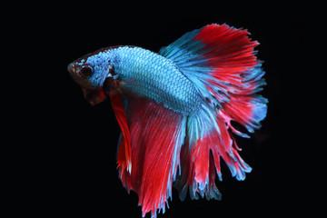 Blue fighting fish.