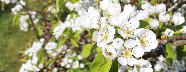 Fleurs de poiriers / Pyrus communis L.