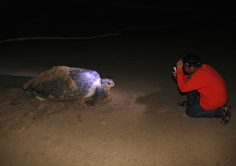 A child takes pictures of a green turtle during nesting season at Ujung Genteng beach near Pelabuhan Ratu in West Java