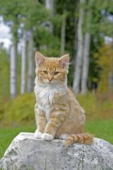 Cute Kitten ginger tabby sitting on rock in backyard
