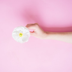 White flower in feminine hand on pink background. Flat lay, top view. Woman background.