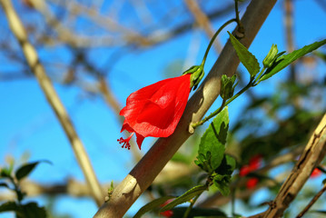 Turk's cap mallow flower