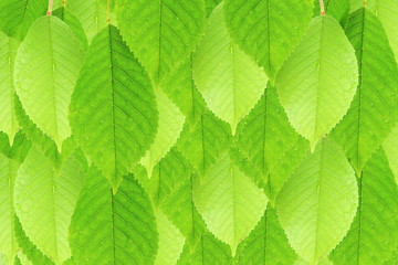 green cherry tree leaves texture background