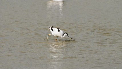 0:22 Pied Avocet (Recurvirostra Avosetta) Feeding Or Foraging In The  Shallows