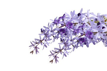 Petrea volubilis L flower on white background with clipping path,isolaed on white