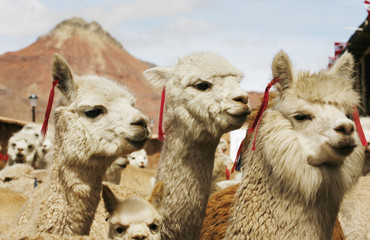 Adult and baby alpacas are pictured during the inauguration of an alpacas shelter at Ticlio