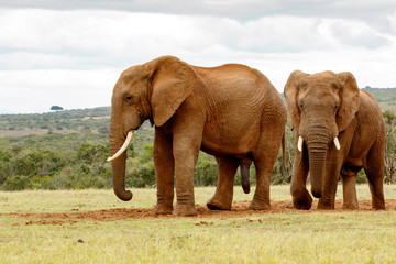 Big Elephants arriving at the dam