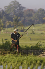EARLY MORNING LIGHT SHINES ON FARMER WORKING IN RICE PADDIES NEARUBUD.